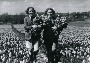 Twins Jean and Sheila SAVAGE (bn 1921) harvesting tulips at Yaverland 1938/39.